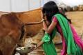 ভারতে 'ভীষণ মেধাবী ও স্বাস্থ্যবান শিশু' জন্মদানে আসছে গোমূত্রের ওষুধ